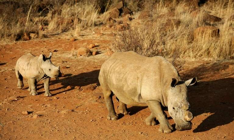A black dehorned rhinoceros is followed by a calf at a game reserve in South Africa in 2012; the horn is prized as a cure to can