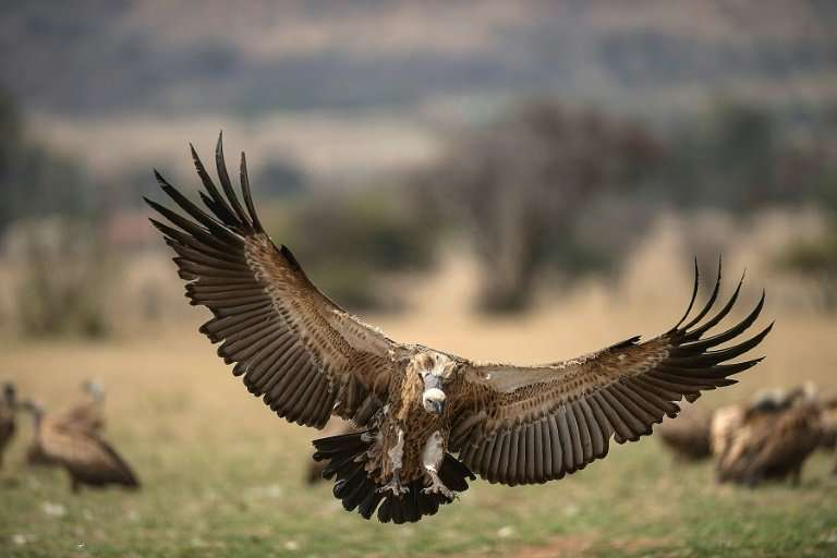 A Cape Vulture spreads its wings as it flies low at the VulPro Vulture Rehabilitation Centre in Hartebeepoortdam, South Africa i