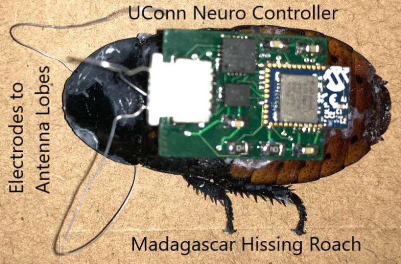 A cyborg cockroach could someday save your life