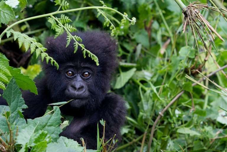 Adventure tourists keen to see gorillas up close are flocking to Rwanda
