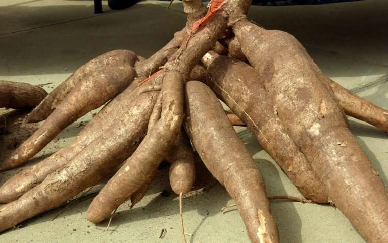 Africa is the world's largest producer of cassava, accounting for 57 percent of a crop that some 800 million people around the w