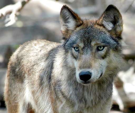 Agency considers dropping wolf protections