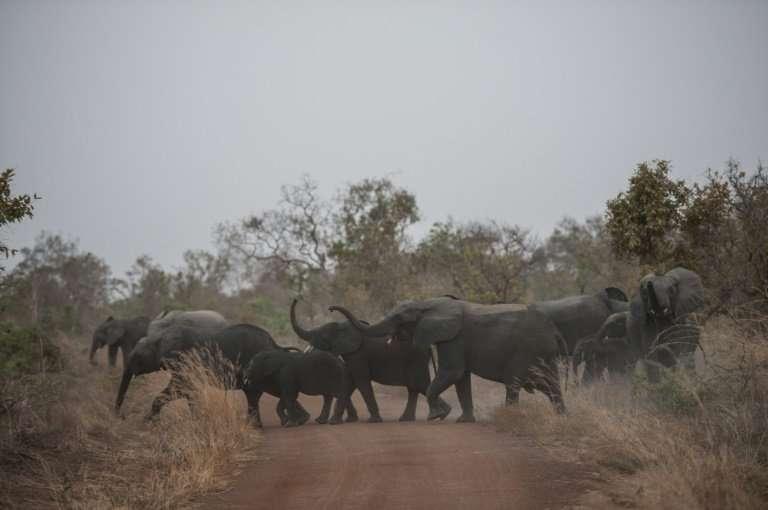 A herd of elephants cross the road in Pendjari National Park, one of the last sanctuaries of untamed wildlife in West Africa