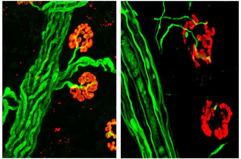 A hydrogel restores breathing after spinal cord injury in animal models