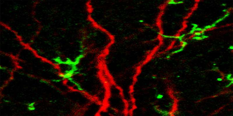 Alzheimer's risk gene impairs development of new neurons in mice