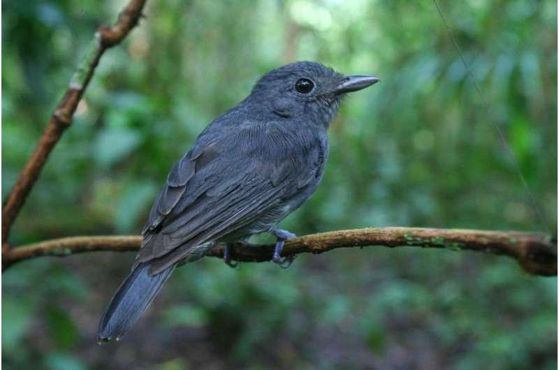 Amazonian 'lookout' birds help other species live in dangerous neighborhoods