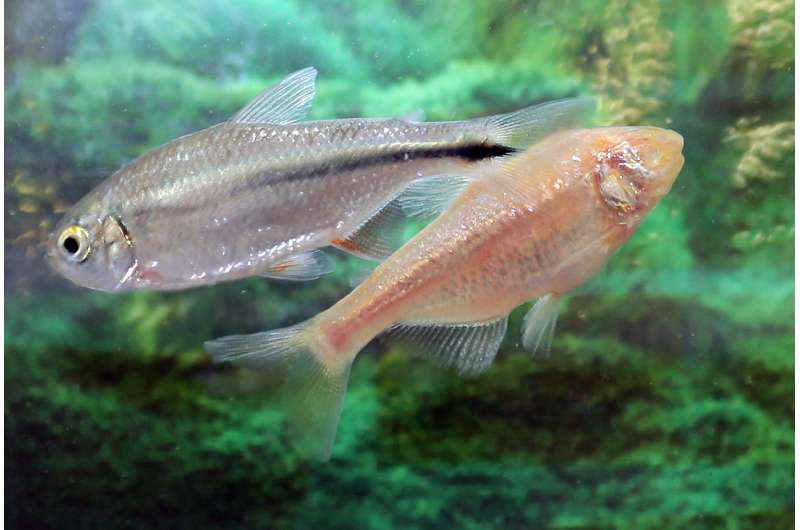 A Mexican cavefish with a scarred heart