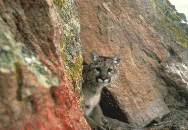 A mountain lion, also known as a cougar (Felis concolor) seen in the western region of the US in this undated file photo