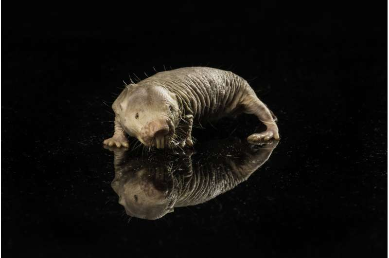 Another piece to the puzzle in naked mole rats' long, cancer-free life