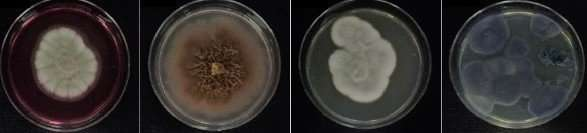 Antarctic fungi found to be effective against citrus canker