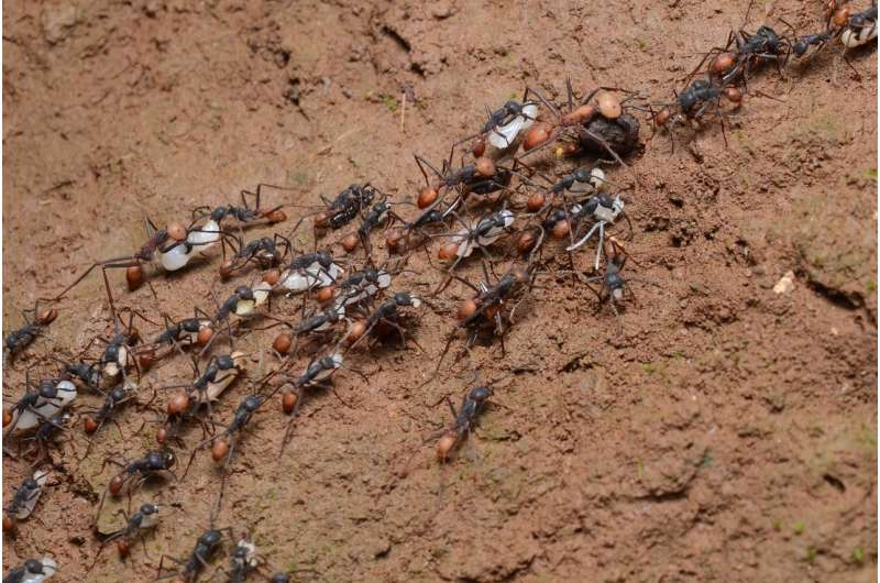 Ant soldiers don't need big brains