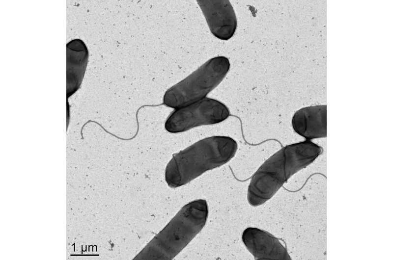 An unusual form of antibiotic resistance in pandemic cholera