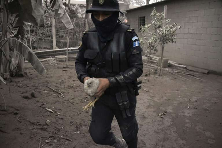 A police officer carries a chicken in the ash-covered village of San Miguel Los Lotes, in Escuintla Department, about 35 km sout
