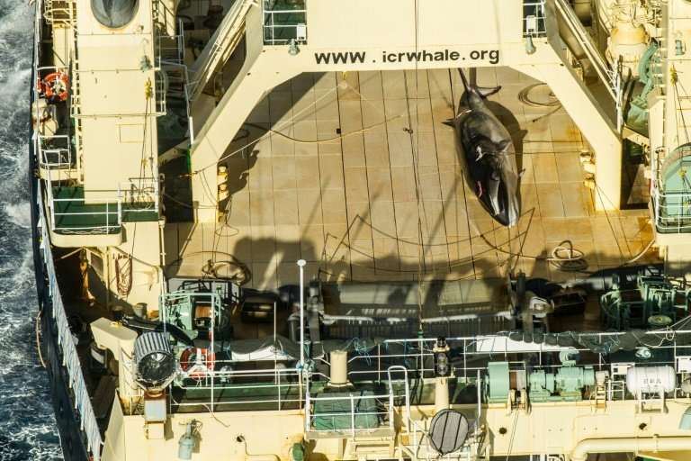 A protected minke whale seen onboard the Nisshin Maru at sea in Antarctic waters in January 2017; Tokyo currently observes the m