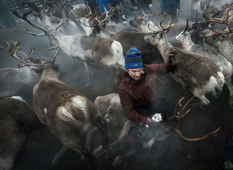 A Sami man with his reindeer, a way of life under threat from global warming as food becomes harder to find for the herd