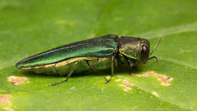 As ash borer barrels through North American forests, scientists and tribes team up to make a stand