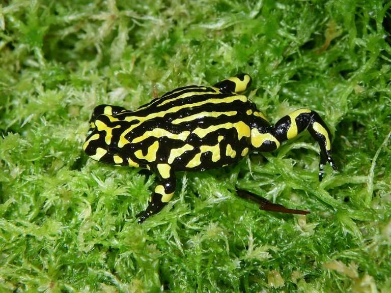 A southern corroboree frog is seen in the Australian bush. Half of all threatened fish receive no monitoring and tracking reptil