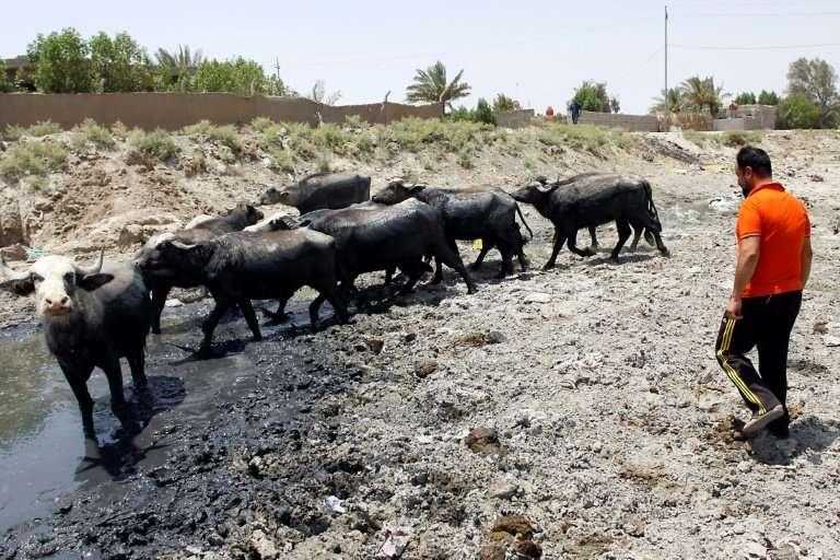 As southern Iraq suffers through a punishing drought, desperate cattle breeders are having to sell off animals to keep others al