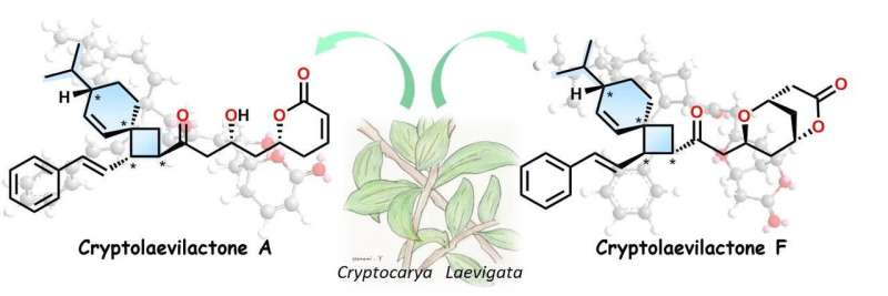 Australian shrub contains new class of organic compound
