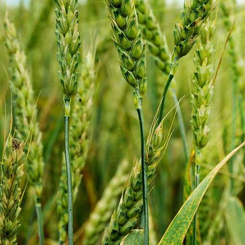 A vaccine for edible plants? A new plant protection method on the horizon