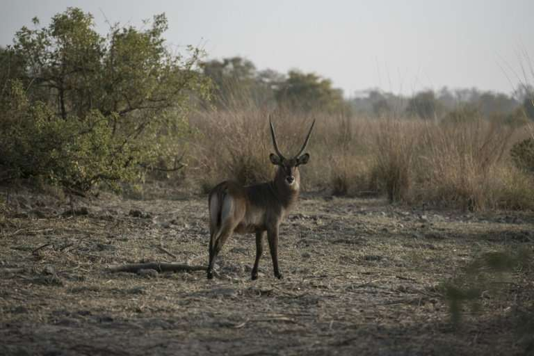A waterbuck bull stands in the morning sun at Pendjari National Park,  one of three straddling the borders of northern Benin and