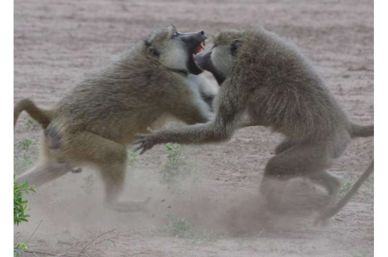 Baboon sexes differ in how social status gets 'under the skin'