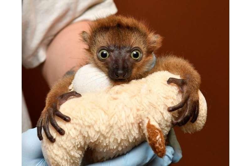 Baby lemur born following rare C-section