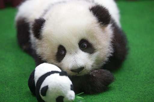 Baby panda born in Malaysia zoo makes public debut