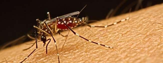 Bacteria block transmission of Zika and Dengue viruses