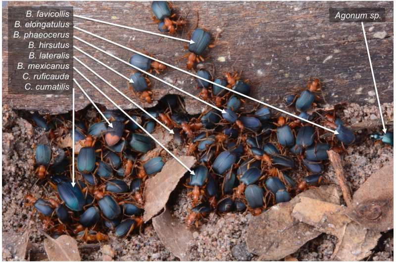 Ballistic beetles seek safety in numbers by sheltering with other species