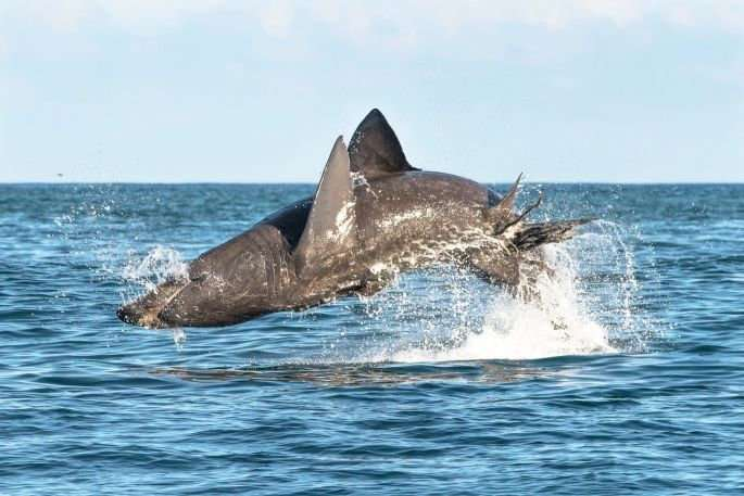 Basking sharks can jump as high and as fast as great whites