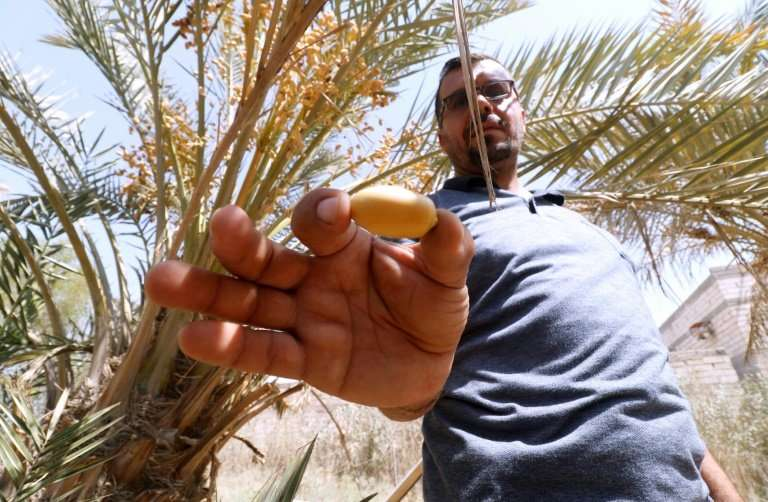 """Basra dates grower Raed al-Jubayli says those producers that have survived have been hit by the double """"tragedy"""" of se"""