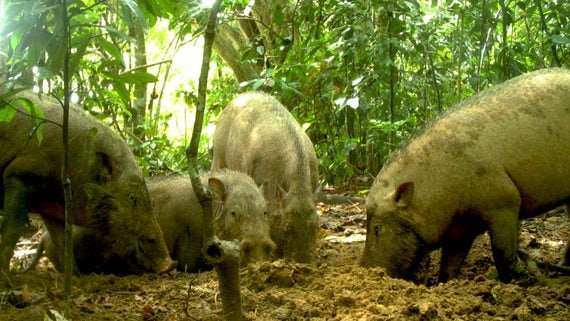 Bearded pigs adapting to oil palm