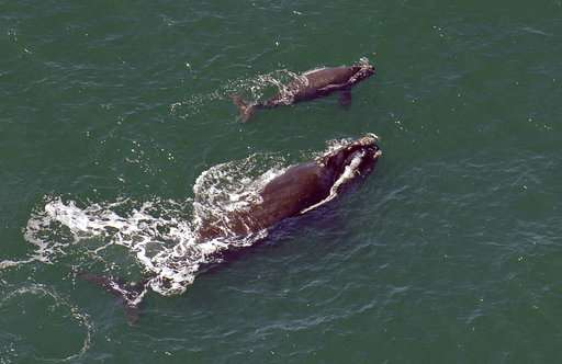 'Beginning of the end?' No new babies for endangered whales