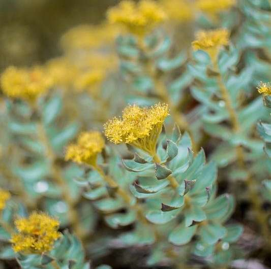 **Bioactive compound from the Rhodiola plant improves memory