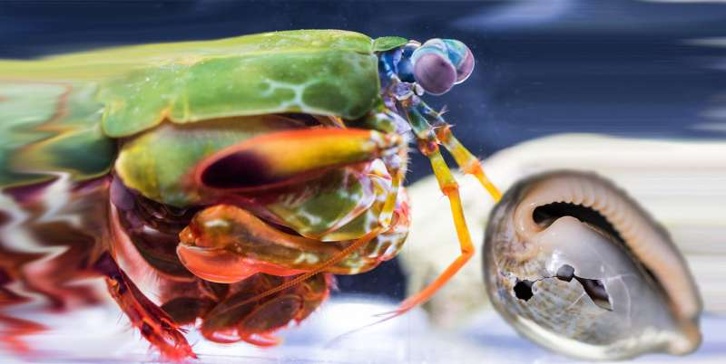 Bioceramics power the mantis shrimp's famous punch
