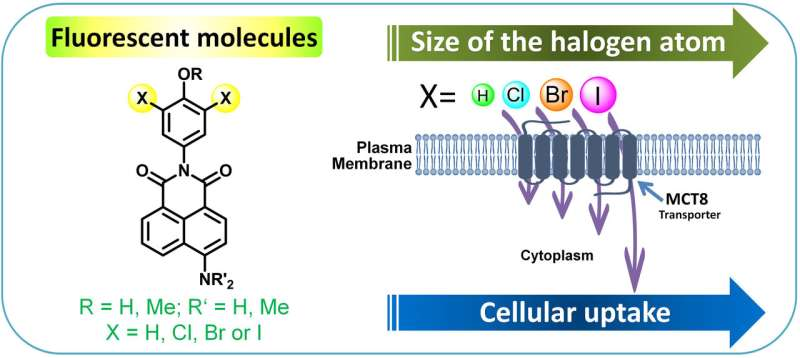 Boosting the movement of fluorescent probes across the cell membrane