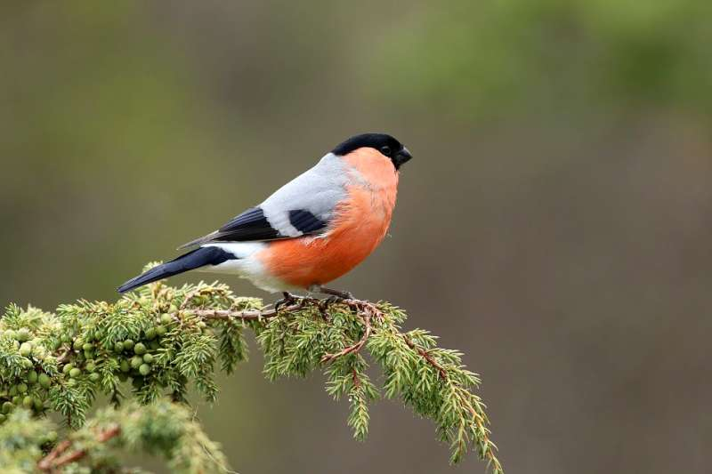 Bullfinches stick together for years