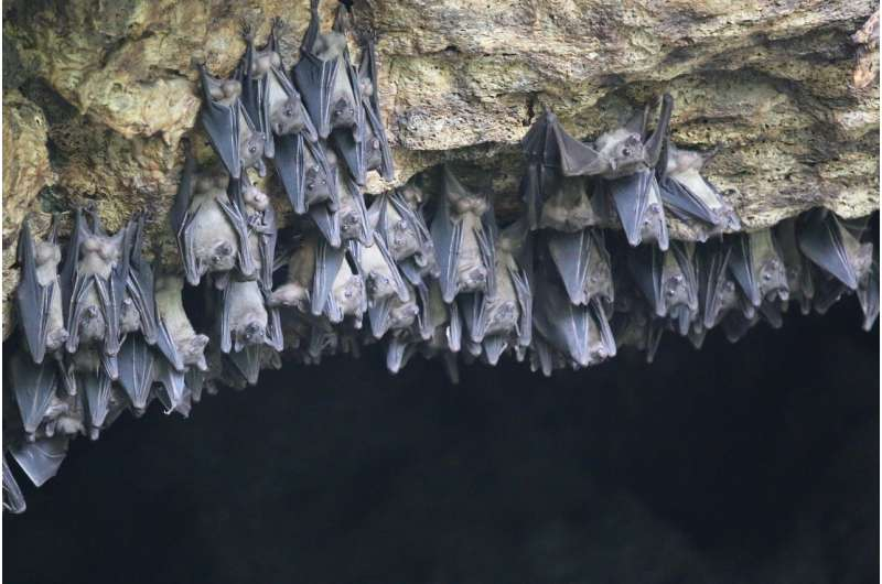 BU study: Egyptian fruit bat genome yields clues to protection