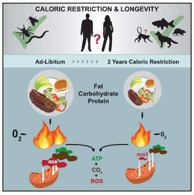 Calorie restriction trial in humans suggests benefits for age-related disease