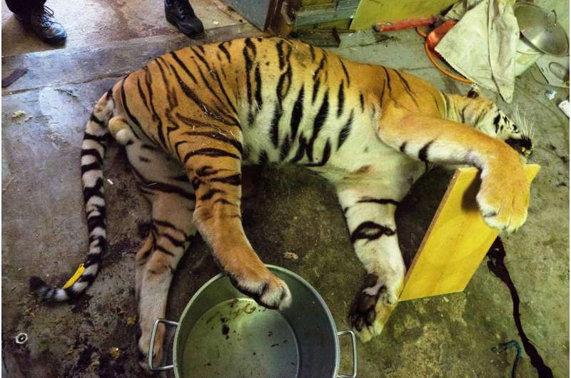 Captive breeding has a dark side – a disturbing Czech discovery of trafficked tiger body parts