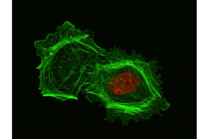 Cells lacking nuclei struggle to move in 3-D environments