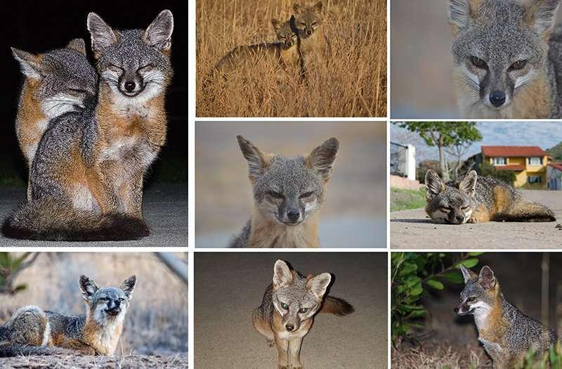 Channel Island foxes make a comeback