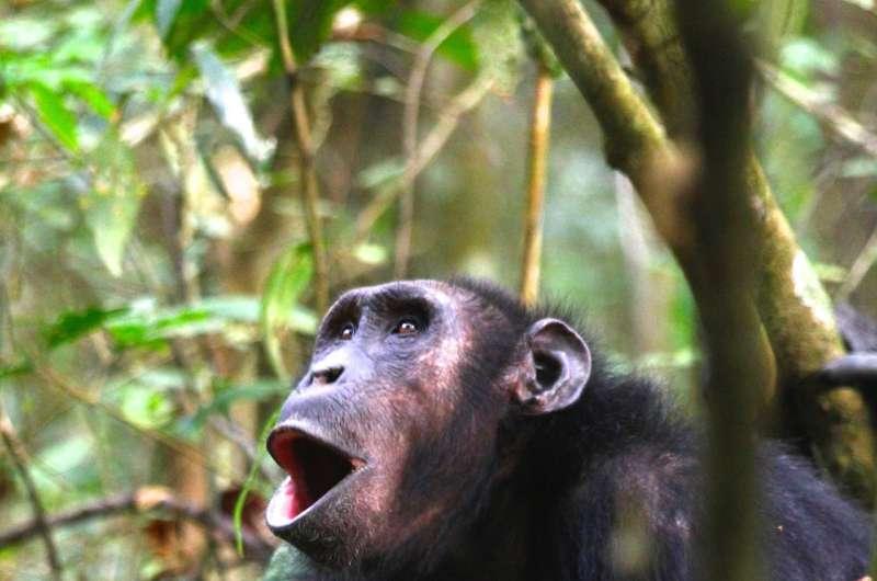 Chimpanzee calls differ according to context