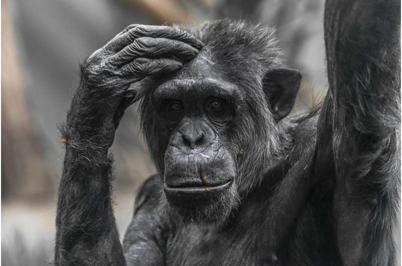 Chimpanzee personality traits are linked to brain structure