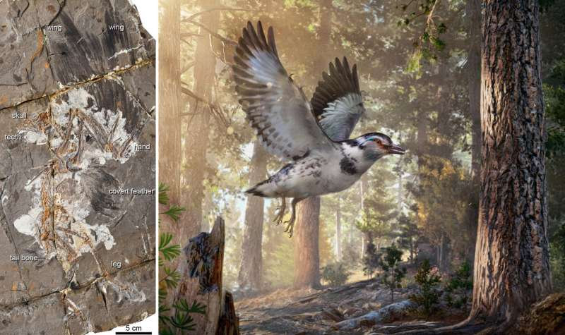 Chinese Cretaceous fossil highlights avian evolution