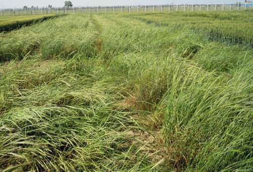 Chinese scientists generate a high-quality wheat A genome sequence