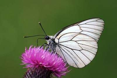 Churchill's favourite butterfly to return