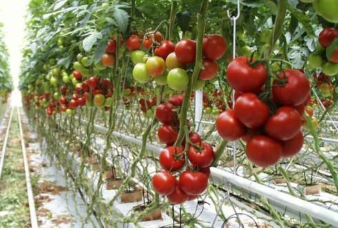 Close relative of the cultivated tomato is resistant to many insects