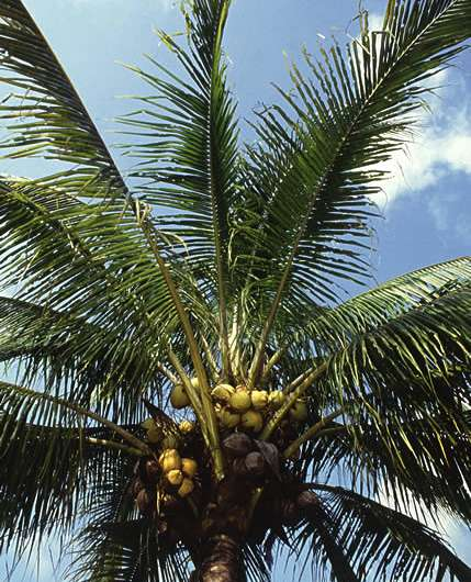 Coconut Oil Compounds Repel Insects Better than DEET